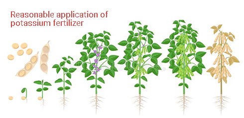 Reasonable application of potassium fertilizer