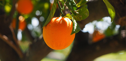 When fertilizing potassium sulfate or potassium chloride, how long does it take for the fruit tree (citrus) to be completely absorbed and increase the sweetness?
