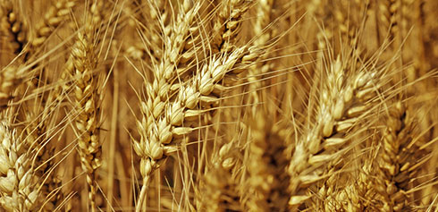 Why should wheat be supplemented with water-soluble microelement fertilizer?